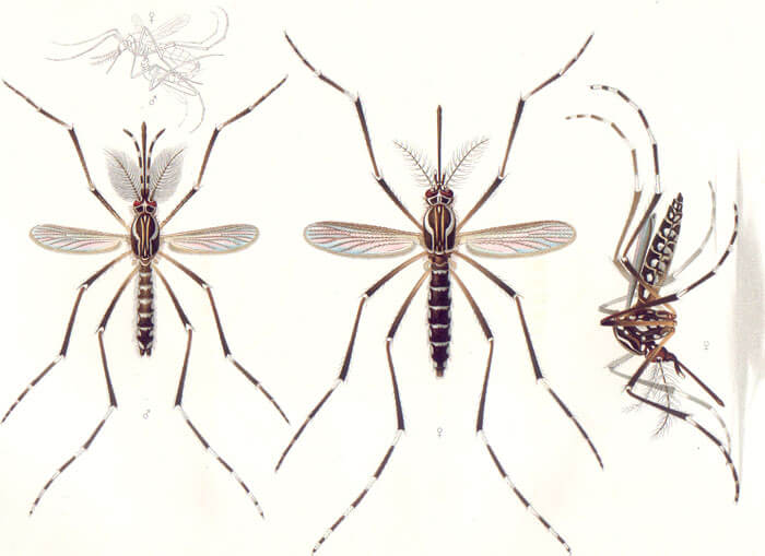 Genetically Modified Mosquitoes – what you should know